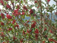 A beautiful laden Holly tree