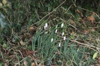 December Snowdrops on Kidnappers Lane