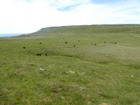 The herd of Fell Ponies above High Cup
